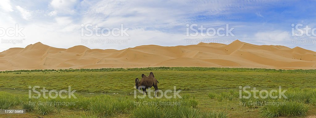 Lonely Camel infront of Khongoryn Els sand dunes stock photo