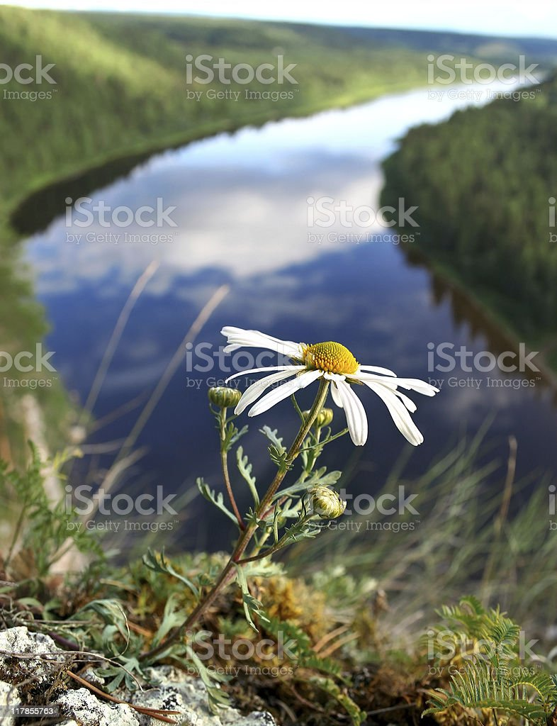 Lonely camomile on a cliff royalty-free stock photo