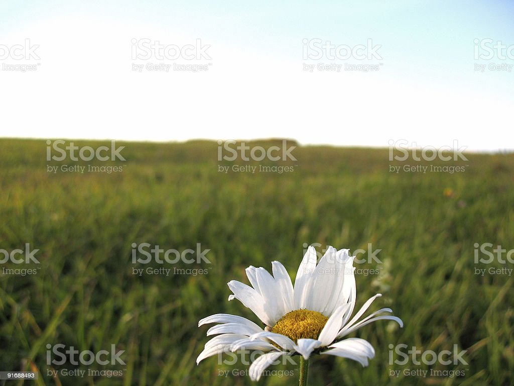 Lonely camomile. royalty-free stock photo
