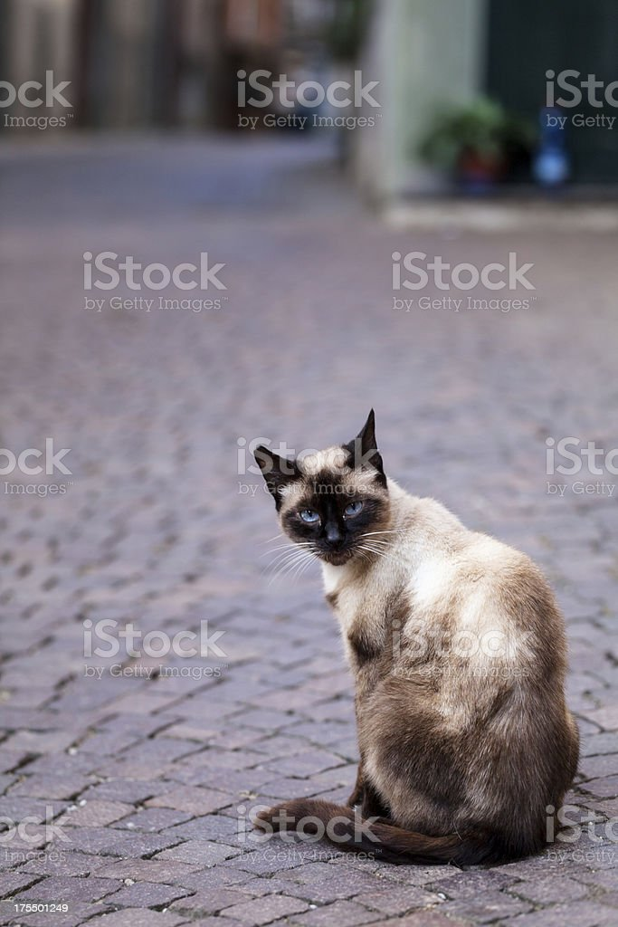Lonely cat,sitting on a street, brick road royalty-free stock photo