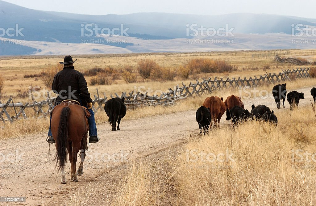 Lonely Cattledrive royalty-free stock photo
