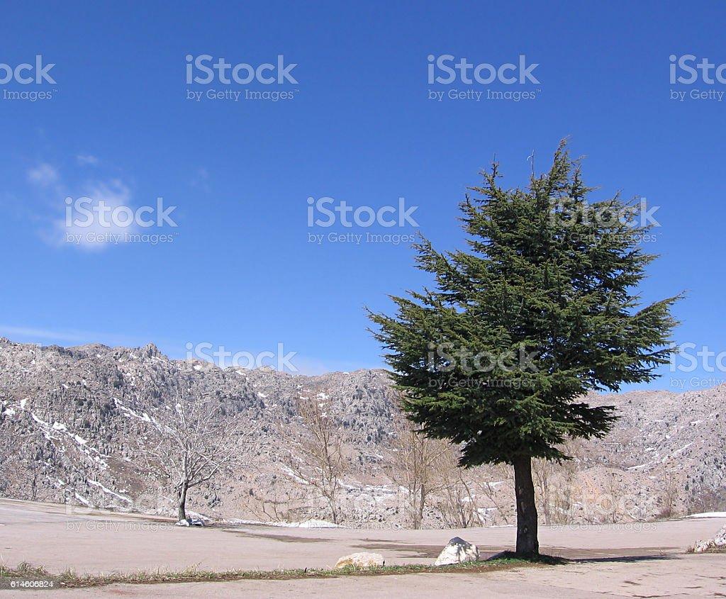 Lonely Cedar royalty-free stock photo