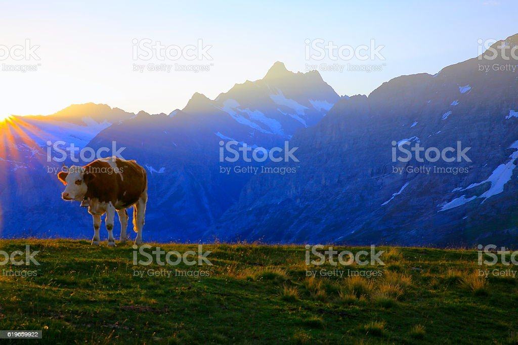 Lonely cow and Wetterhorn, Grindelwald valley: Swiss Alps sunny sunrise stock photo