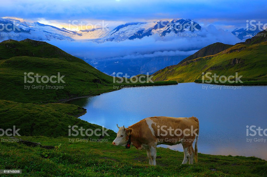 Lonely Cow, dramatic Sky and lake above Grindelwald: Swiss Alps stock photo