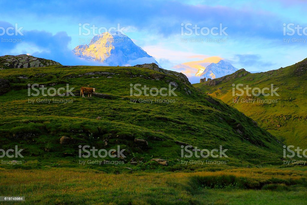 Lonely Cow, Eiger and Monch above Grindelwald: Swiss Alps stock photo