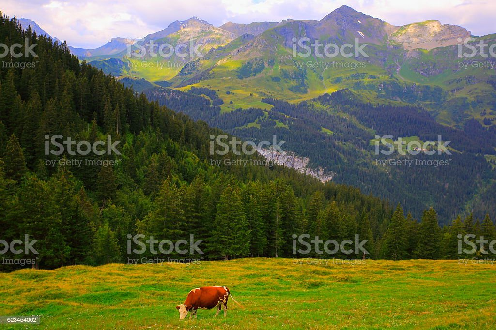 Lonely Cow, Lauterbrunnen pine tree woods, Bernese Oberland, Swiss Alps stock photo