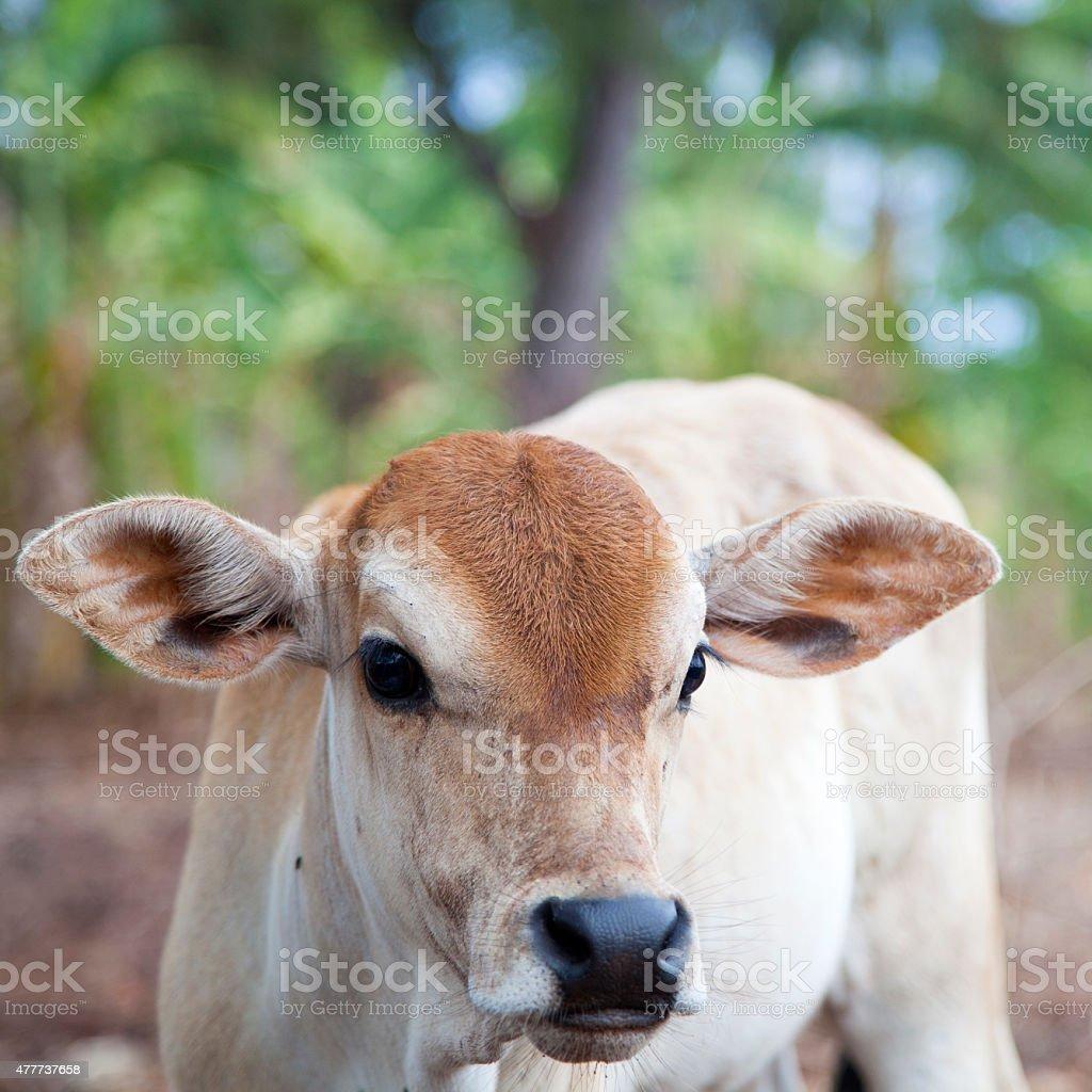 Solitude de vache photo libre de droits