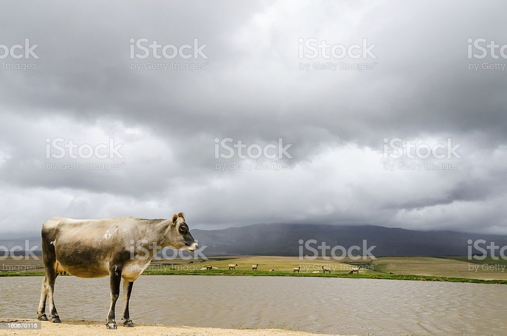 Lonely cow under moody sky royalty-free stock photo