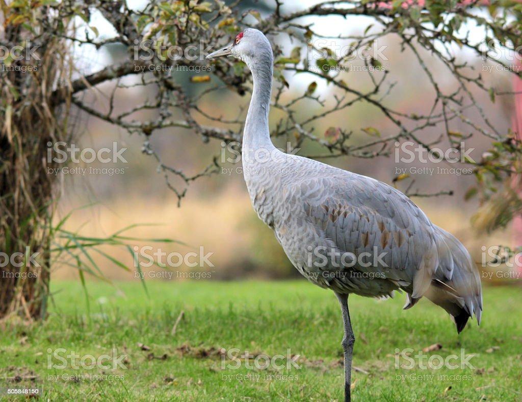 Lonely Crane under tree,Westham Island,Vancouver stock photo