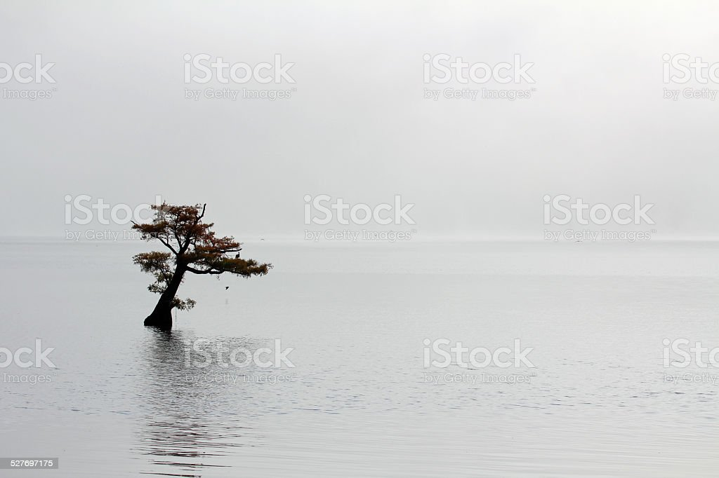 Lonely cypress tree in Reelfoot Lake stock photo