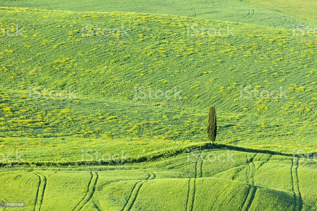 Lonely Cypress Tree in Rolling Landscape, Tuscany, Italy stock photo