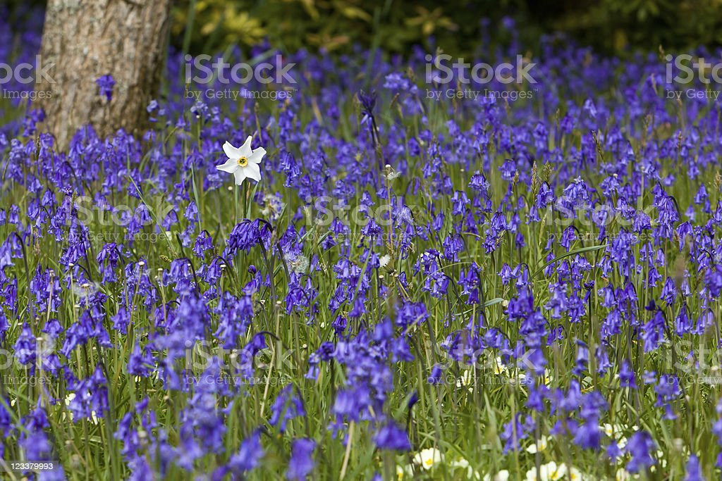 Lonely Daffodil with Bluebells royalty-free stock photo