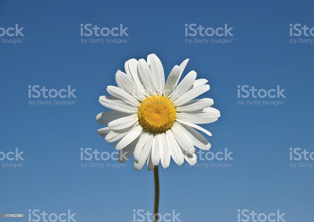 Lonely Daisy royalty-free stock photo