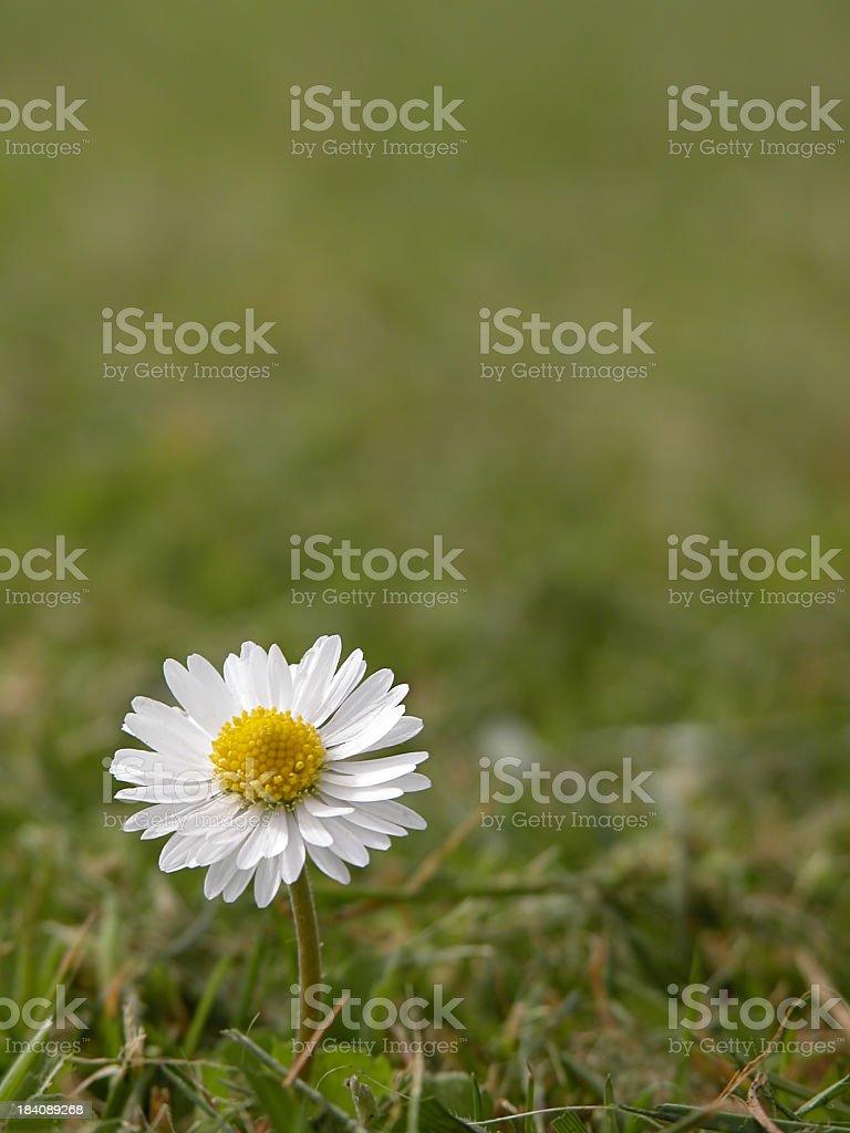 Lonely daisy royalty-free stock photo