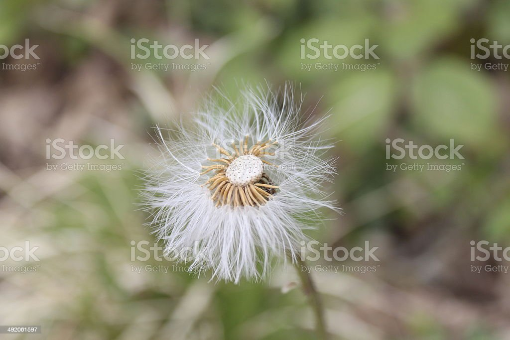 Lonely dandelion royalty-free stock photo