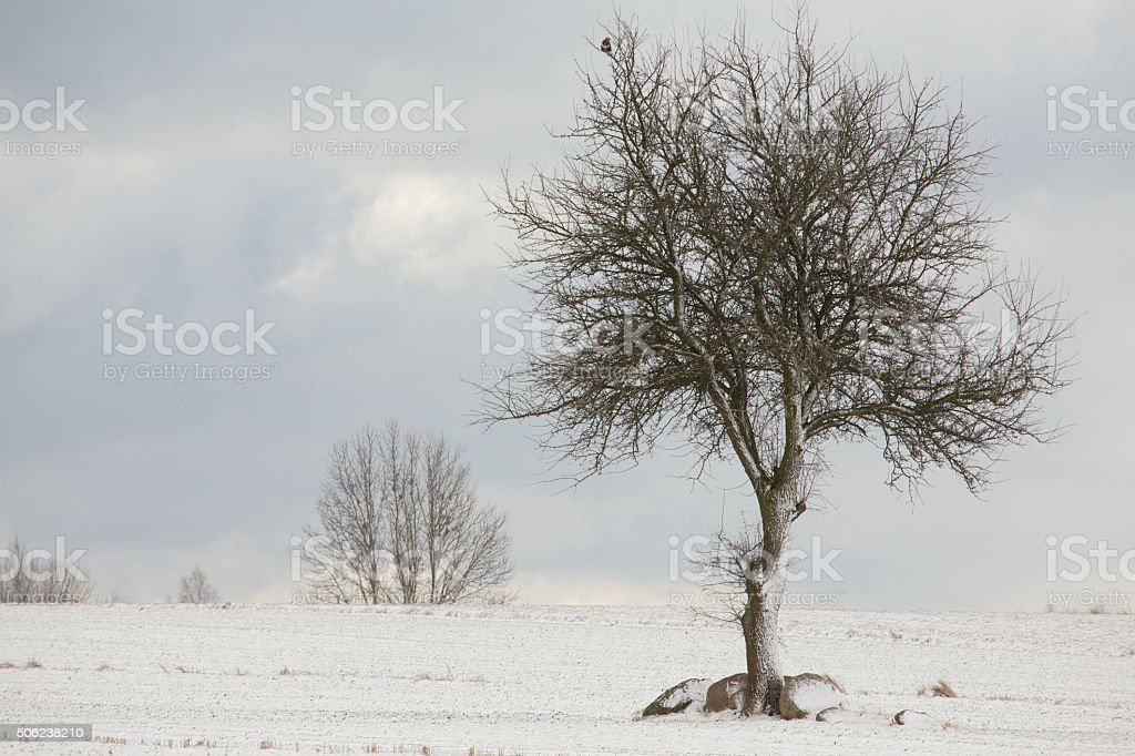 Lonely deciduous tree in wintertime snowy field stock photo