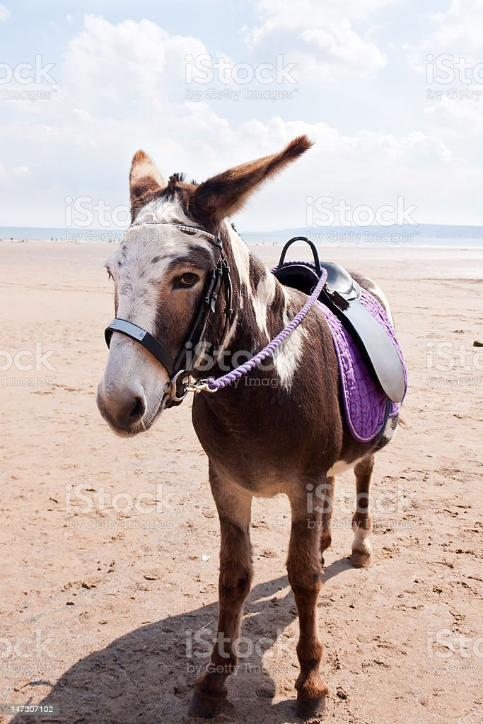 Lonely donkey waiting on beach for trade. stock photo