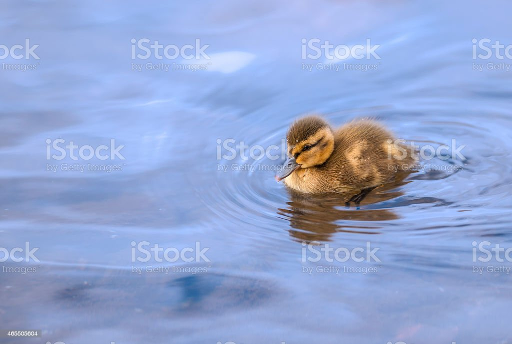 Lonely duckling swimming peacefully in blue lake water stock photo