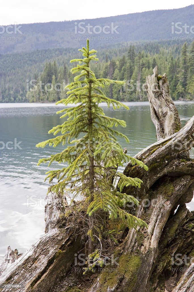Lonely fir tree on driftwood royalty-free stock photo