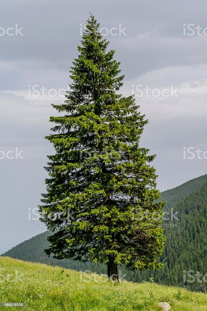 Lonely fir tree on the edge of slope stock photo