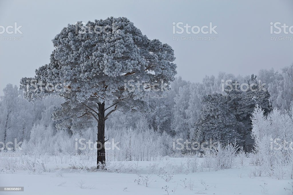Lonely frosted pine 2 stock photo
