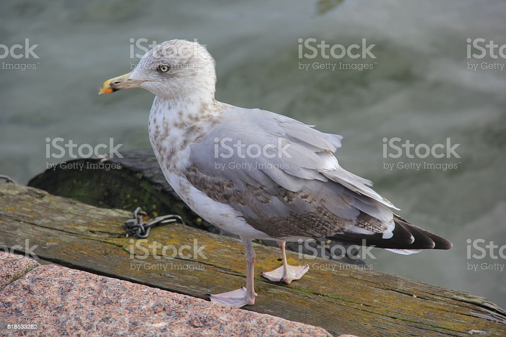 Lonely gray seagull walking on the promenade next to the water stock photo