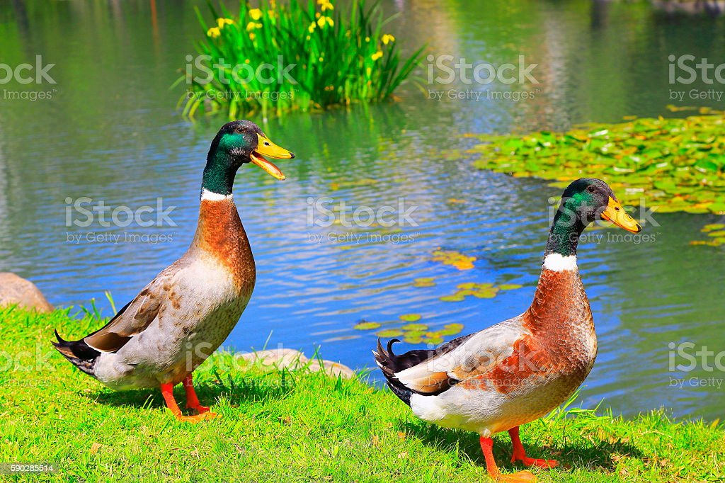 Lonely Green head Mallard Ducks drakes quacking on bright lake stock photo