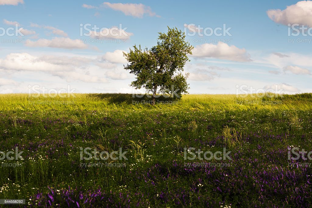 Lonely green tree in the field. stock photo