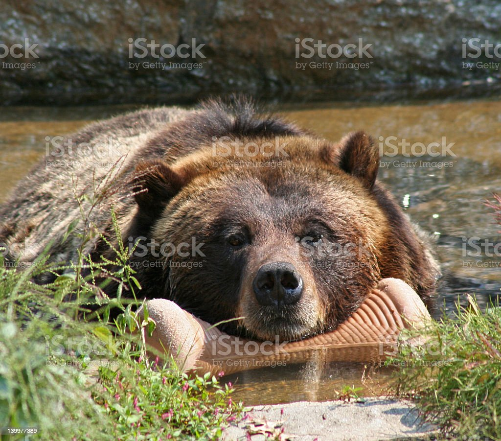 Lonely Grizzly stock photo