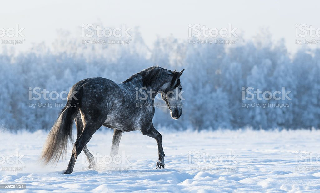 Lonely horse walks on the field stock photo