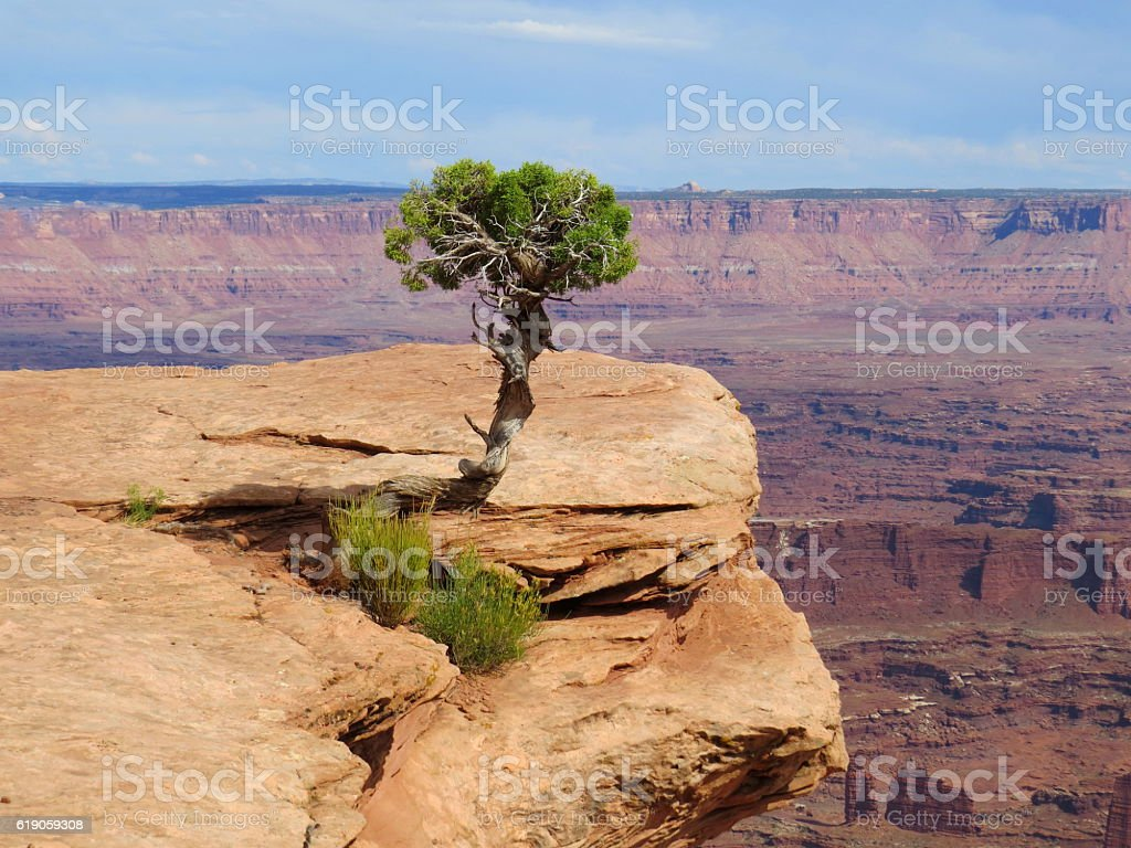 Lonely Juniper tree Canyonlands stock photo