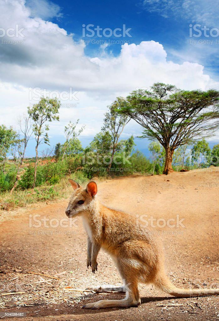 Lonely kangaroo on the road stock photo