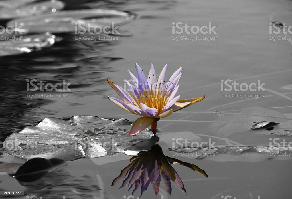 Lonely Lily stock photo