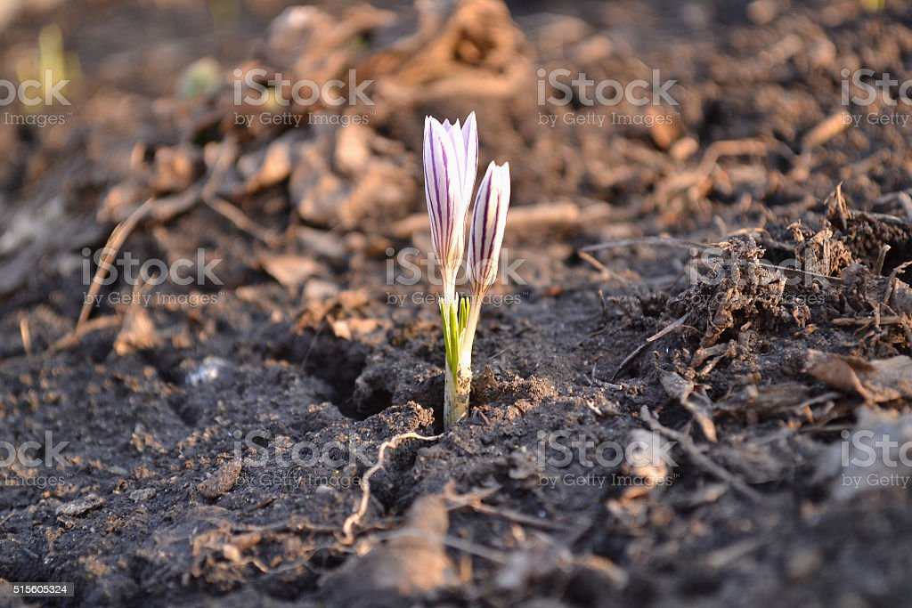 lonely little snowdrop stock photo