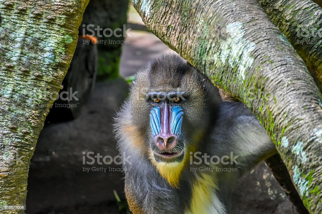 Lonely Mandril stock photo