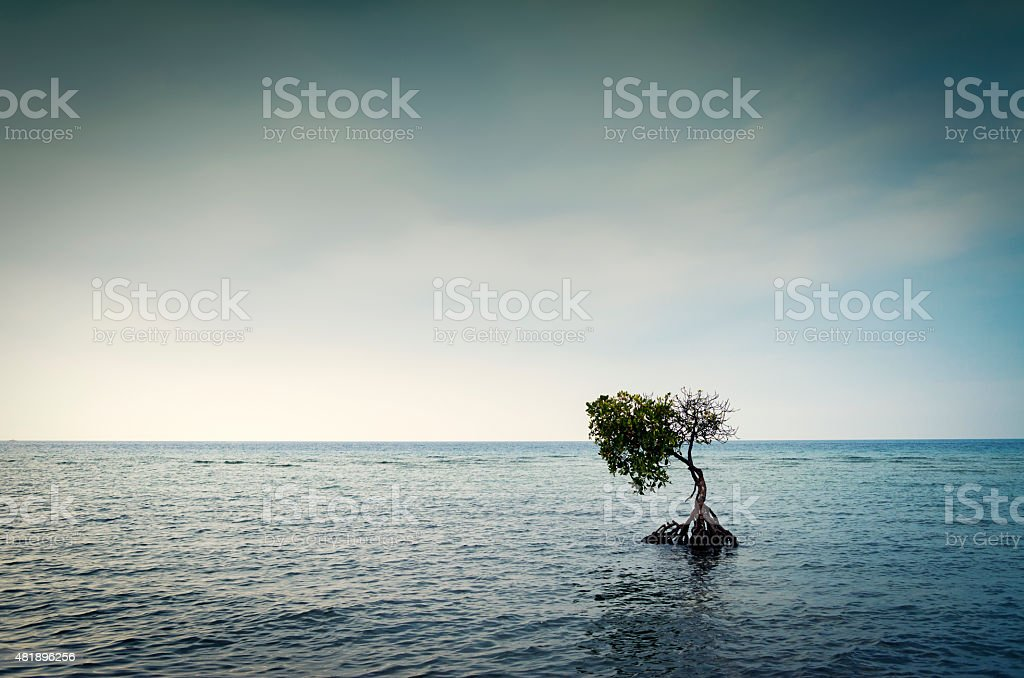 Lonely mangrove tree in the Bali Sea,Bali, Indonesia stock photo