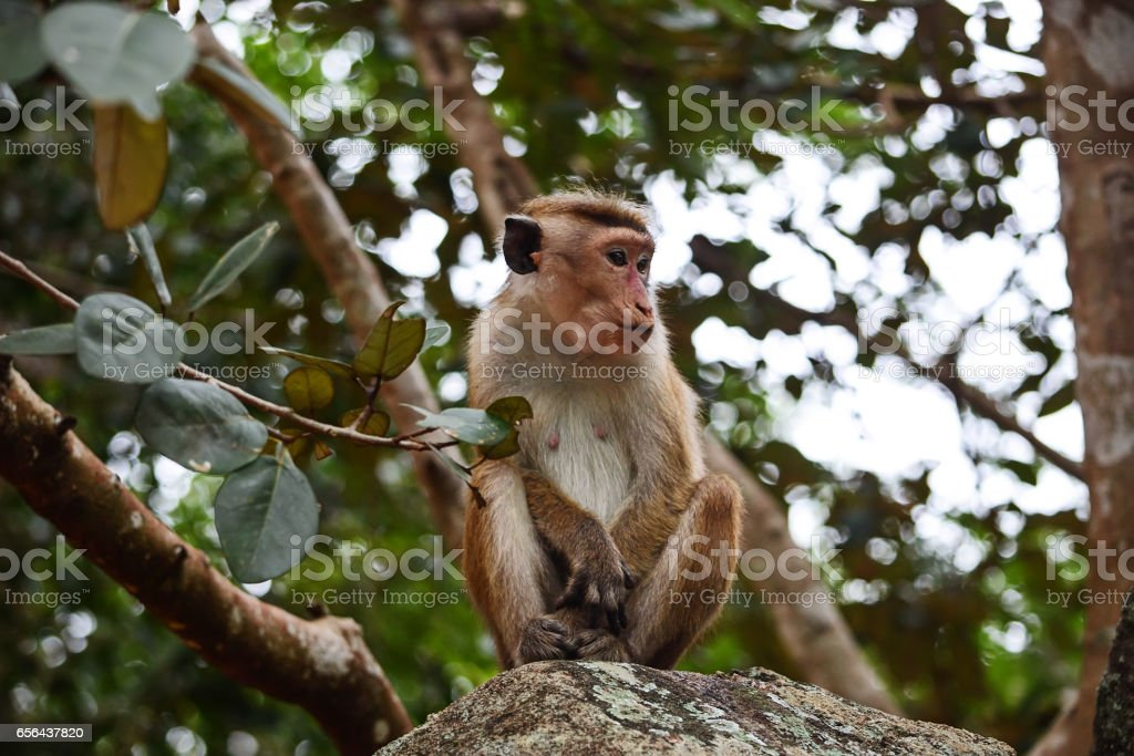 Lonely monkey Ceylon macaque on the rock stock photo
