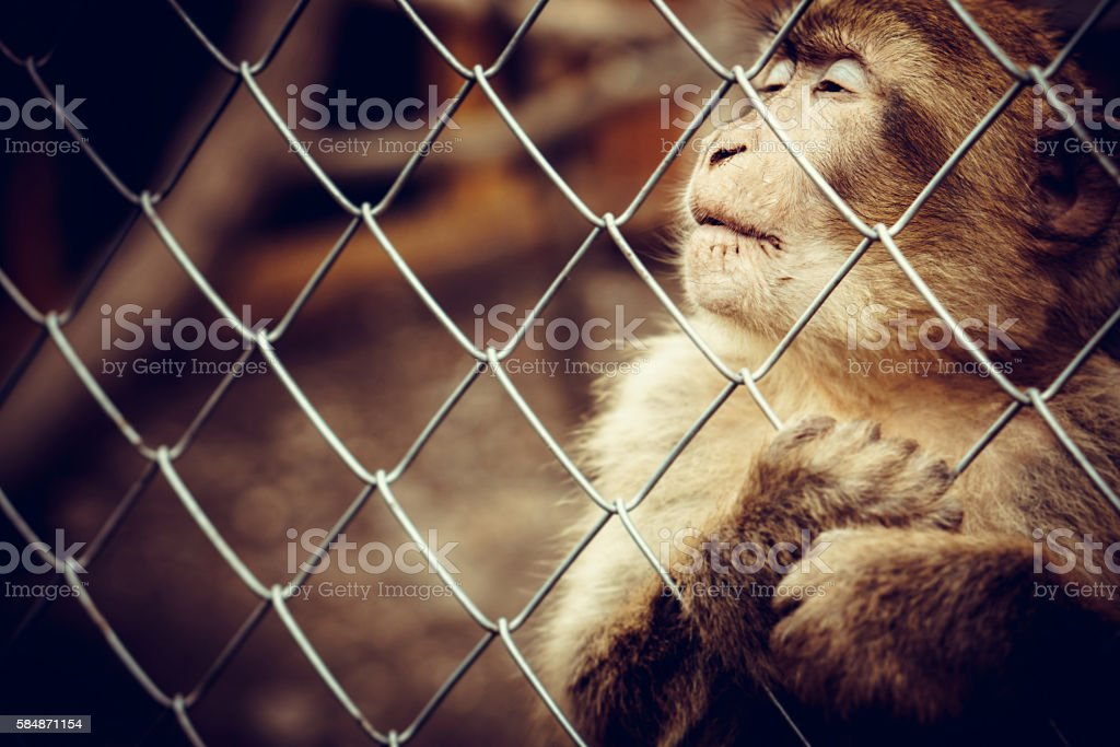 Lonely monkey sitting behind the cage at the zoo stock photo