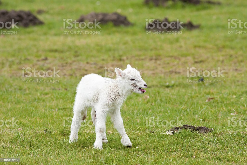 Lonely Newborn Lamb Calling for Mother stock photo