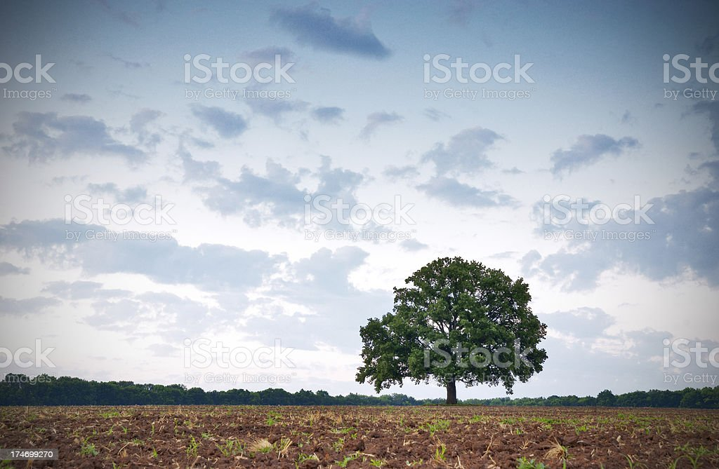 lonely oak royalty-free stock photo