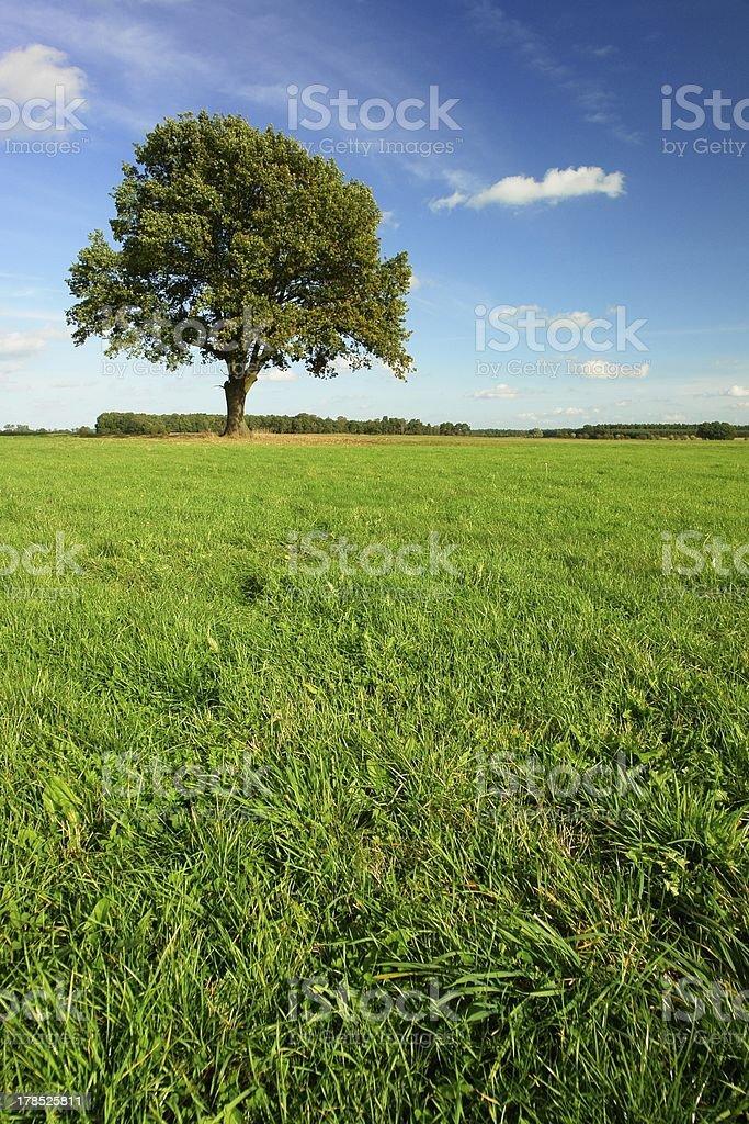 lonely oak royalty-free stock photo