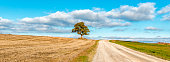 Lonely oak tree among field of mowed cereals