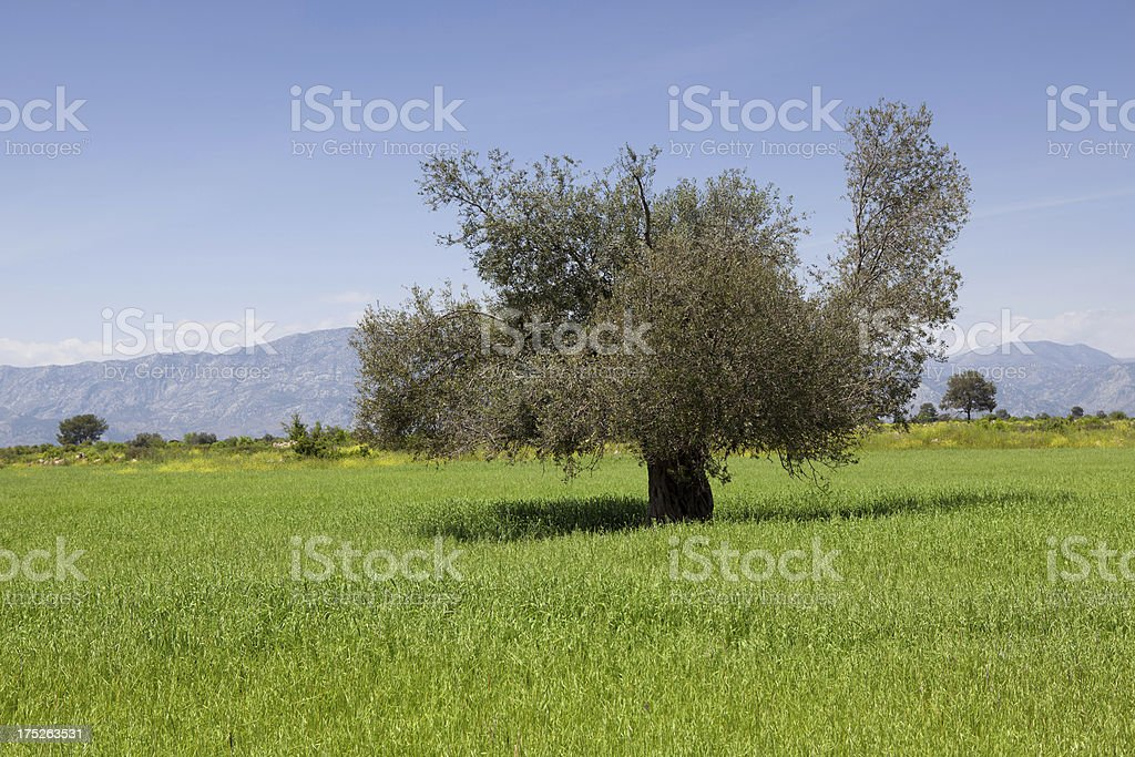 Lonely oak tree in spring royalty-free stock photo