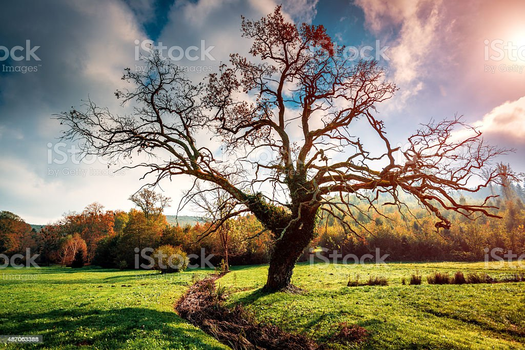 Lonely oak tree stock photo