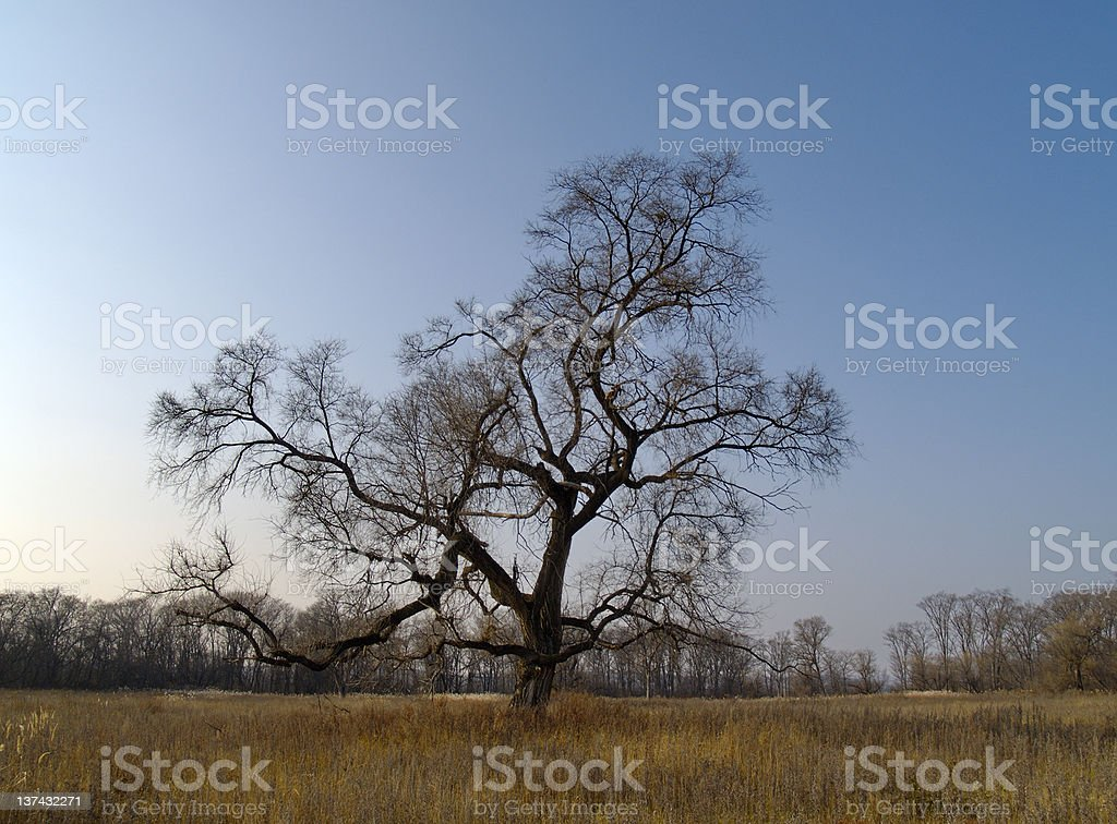 Lonely old elm in the autumn royalty-free stock photo