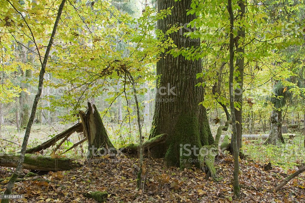 Lonely old oak tree in fall stock photo