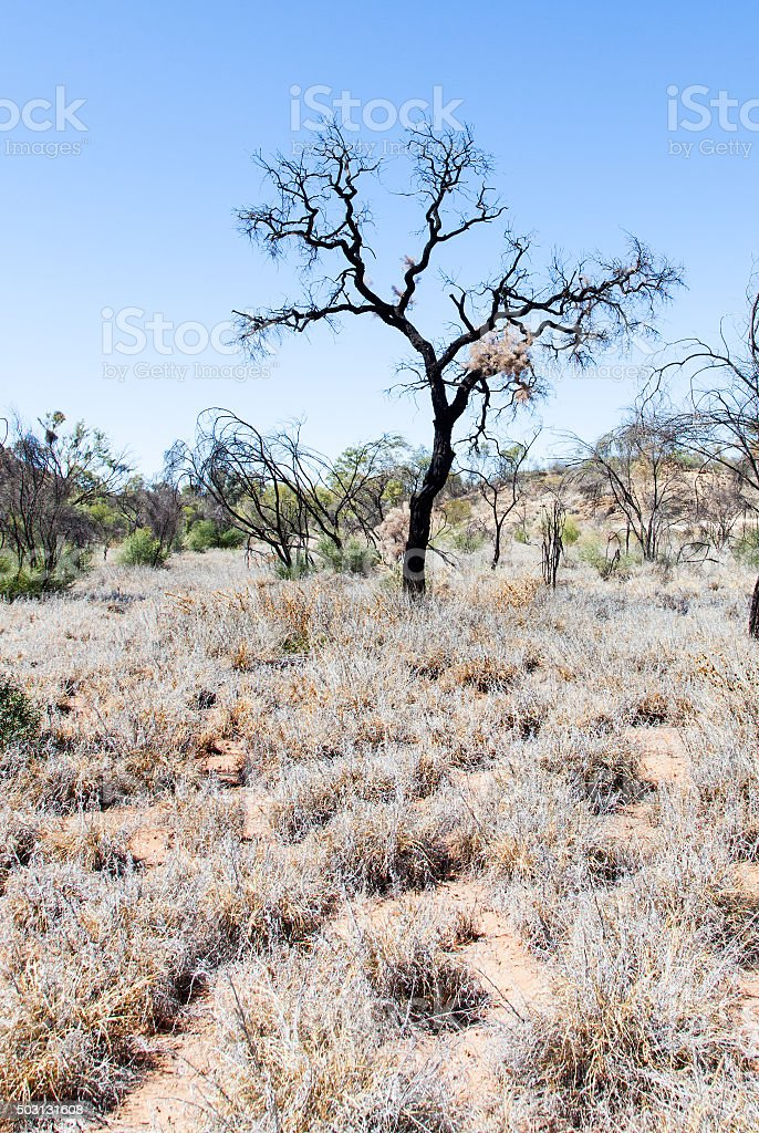 lonely outback desert tree australia stock photo