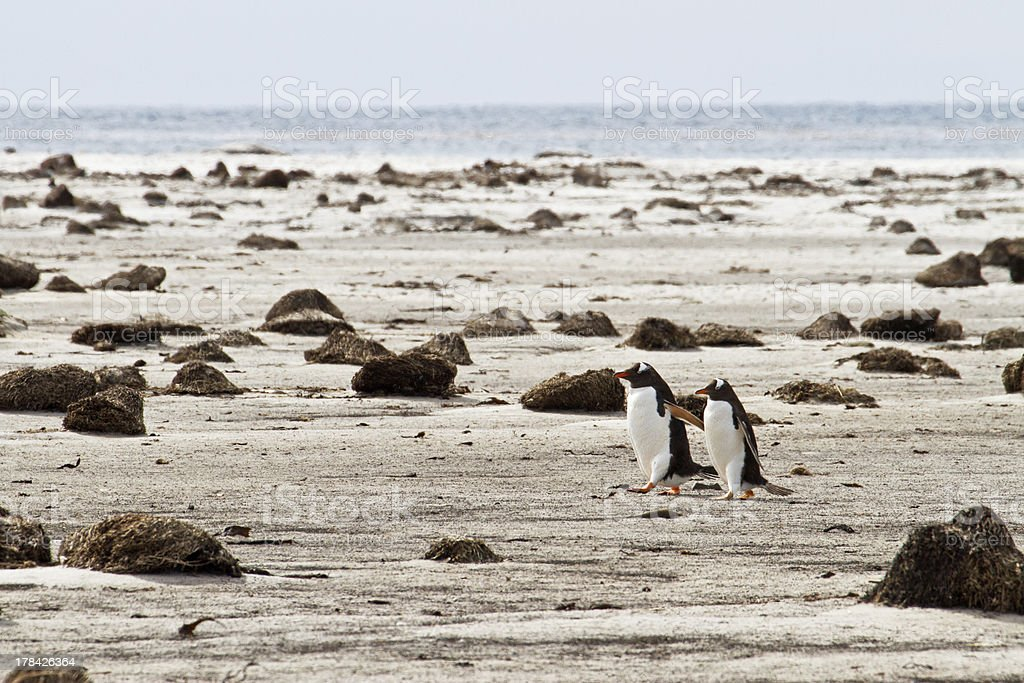 Lonely Pair of Gentoo Penguins royalty-free stock photo