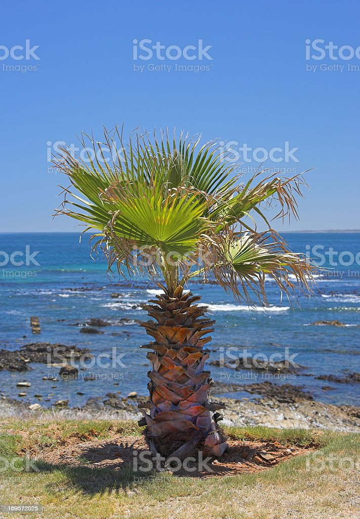 A lonely palm tree by the coast royalty-free stock photo