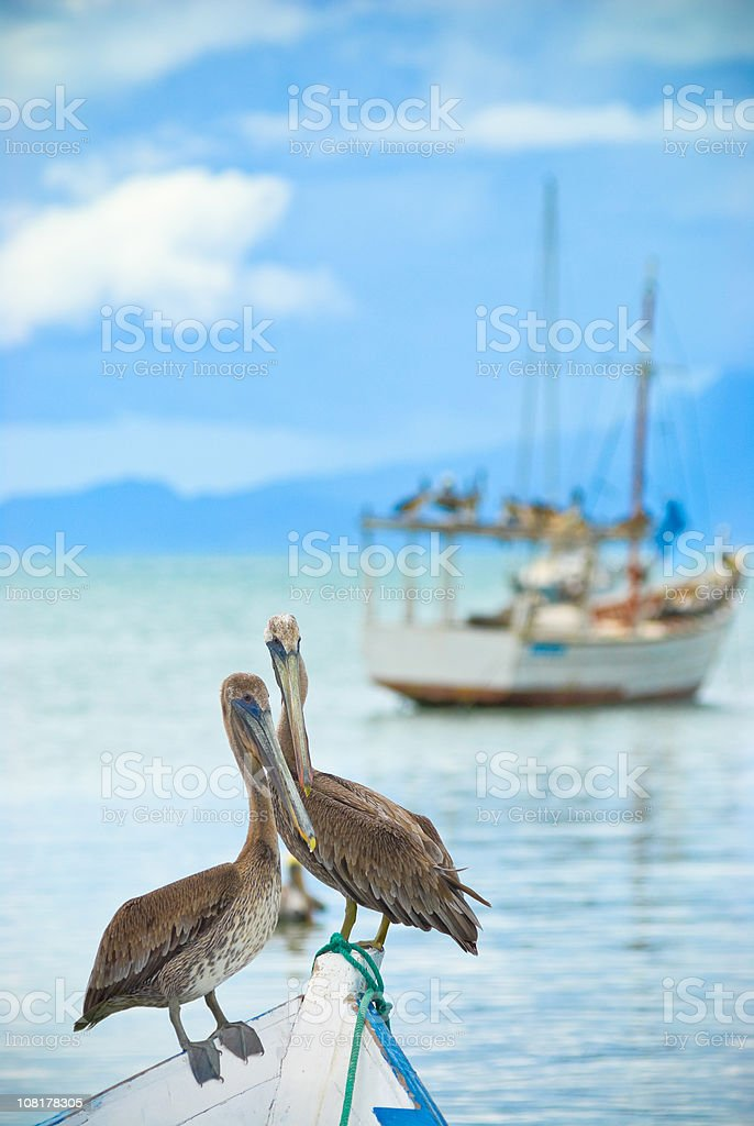 Lonely Pelicans royalty-free stock photo